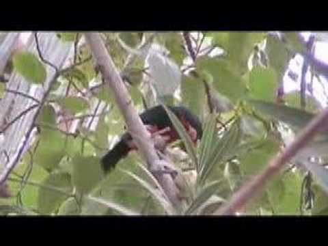 Bearded barbet Video