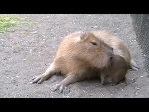 赤ちゃんカピバラの大冒険 [Capybara]