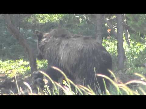 Yellowstone Grizzly Eating Bison 7-19-14