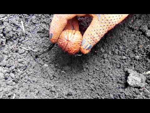 Правильная Посадка Грецкого Ореха из Орешка ! Выращивание и уход весной!