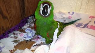 Tickling the Messy Macaw