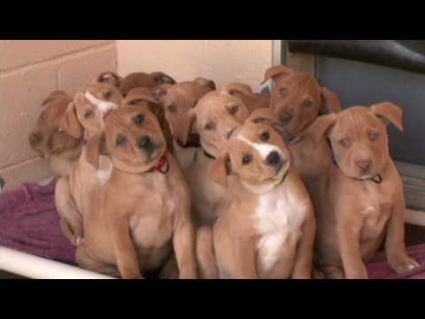Cute Pit Bull Terrier Puppies Video