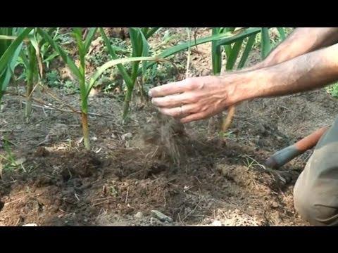 Harvesting, Curing and Storing Garlic