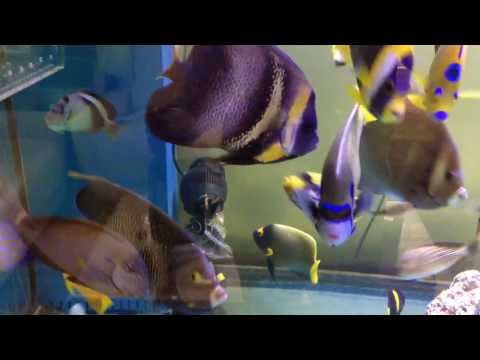 300 gallon marine fish tank scribbled false personifer queen blue annularis gray emperor angelfish