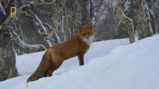 National Geographic Documentary  Animal world of Kamchatka Peninsula   Wildlife Animal