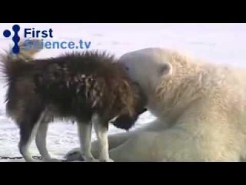 Cute : l'amitié entre des ours polaire et des husky (vidéo)