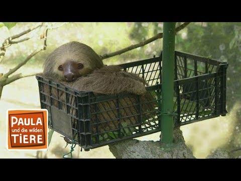 Fit wie ein Faultier (Doku) | Reportage für Kinder | Paula und die wilden Tiere