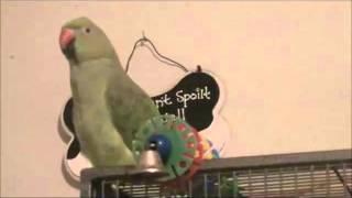 Indian Ringneck Parrot 1 yr talking