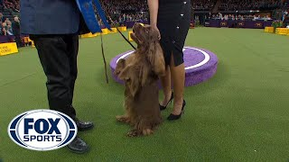 Bean the Sussex Spaniel wins the Sporting Group   WESTMINSTER DOG SHOW (2018)   FOX SPORTS