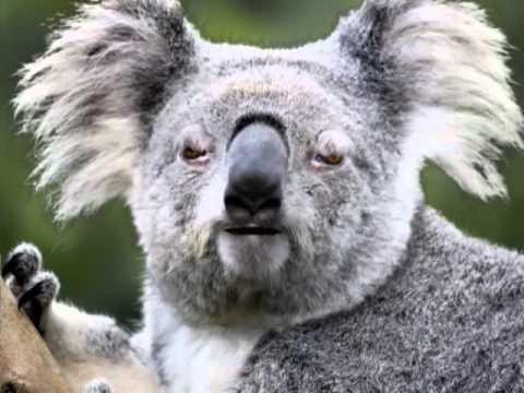 Koala Bear Angry angry koala bear