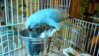 Rio my Indian RingNeck Parakeet
