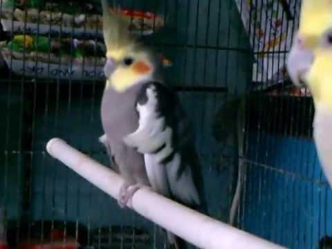 MrBufares - سوق الطيور في جزر المالديف