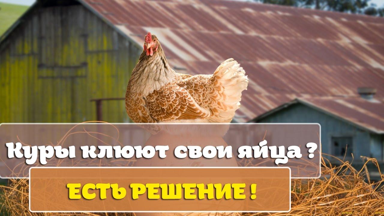Что делать чтобы куры не расклёвывали яйца