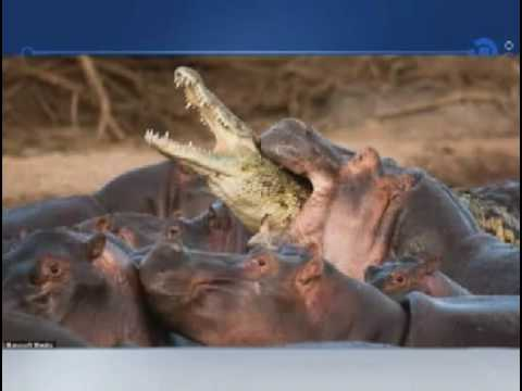 Crocodilo leva mordida de hipopótamo na Tanzânia