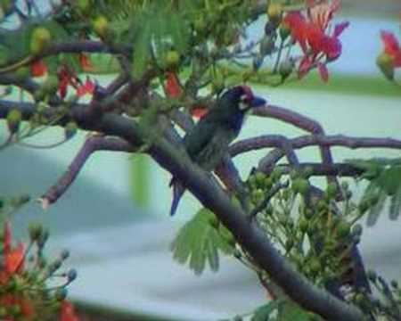 Coppersmith Barbet 1 Video