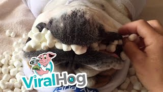 Marshmallow Dog || ViralHog