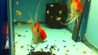 Скалярия Кои Angelfish Koi Pterophyllum scalare продажа Оптом