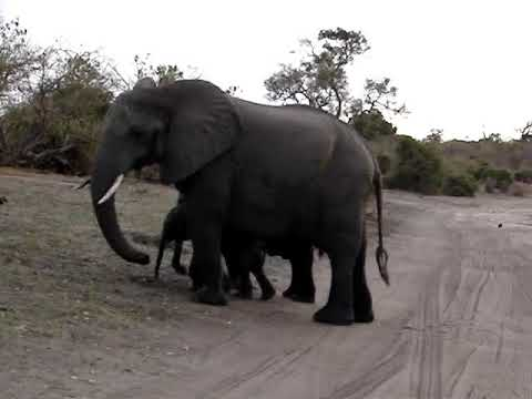 Baby elephant sneezes and scares himself.