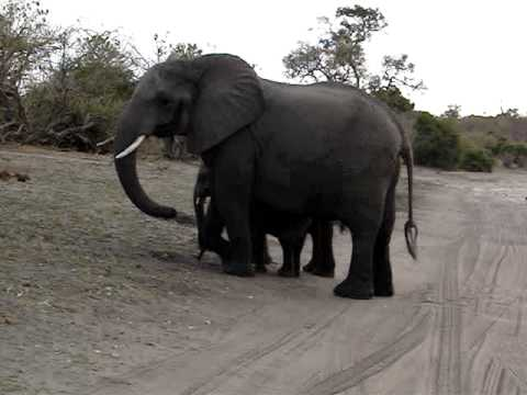 Baby elephant sneezes and scares himself. Video