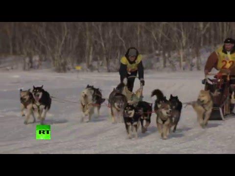На Камчатке стартовали гонки на собачьих упряжках «Берингия»