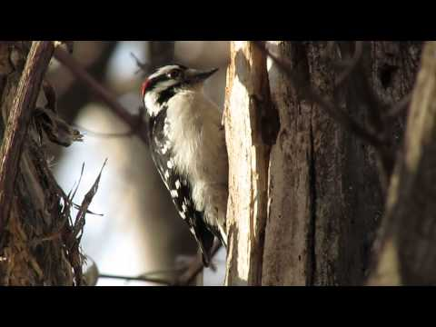 Downy Woodpecker Drumming Downy Woodpecker Drumming