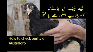 Asli Australorp ki nishania | How to check purity of Australorp Chicken