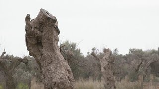 """Des avancées dans la lutte contre la bactérie """"tueuse d'oliviers"""""""