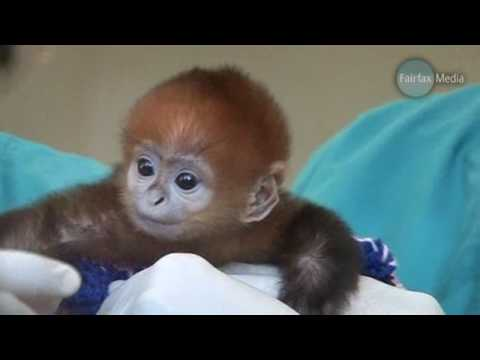 Baby Monkey Francois Langur