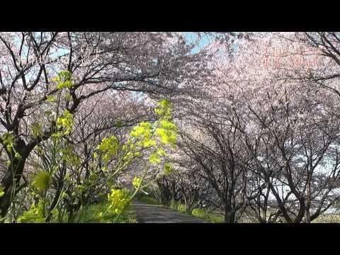 神戸町~大垣市 「輪中堤の桜を巡る」