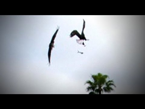 Bald Eagle Attacks Osprey Mid-air, Snatches Fish (Caught on tape at a Kohl's Kicking Camp)