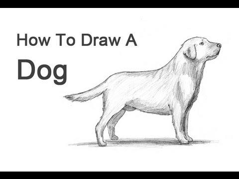Labrador Retriever Drawings How to Draw a Dog Labrador