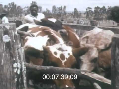 Stock Footage - 1960's Agriculture: African Cattle Pesticide Dip