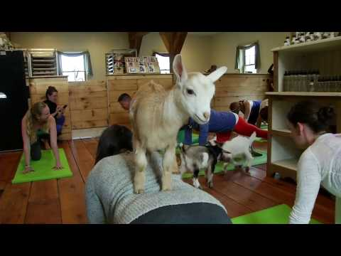 'Goat Yoga' a hit on New Hampshire farm