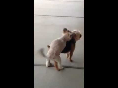 Puppy Love....female Dog Humping Male Dog video