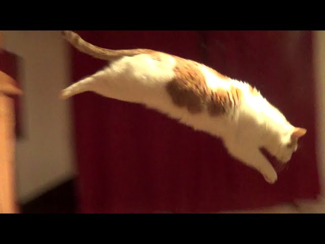 Cute cat makes a big jump #2 Side view - With Slowmotion - Full-HD