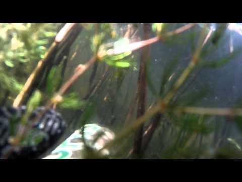ловля каспийского сазана
