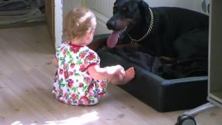 Doberman Cinsi Köpeğin Dilini Çekmeye Çalışan Bebek