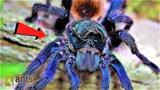 World's Most Beautiful Tarantula in Peril