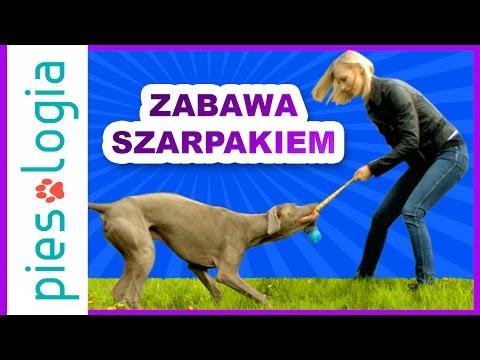 Jak Nauczyć Psa Zabawy Szarpakiem?