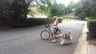 Ragnar the talking dog Day 3 bicycle training