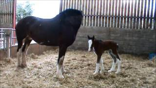 Spirits foal born 29 01 16