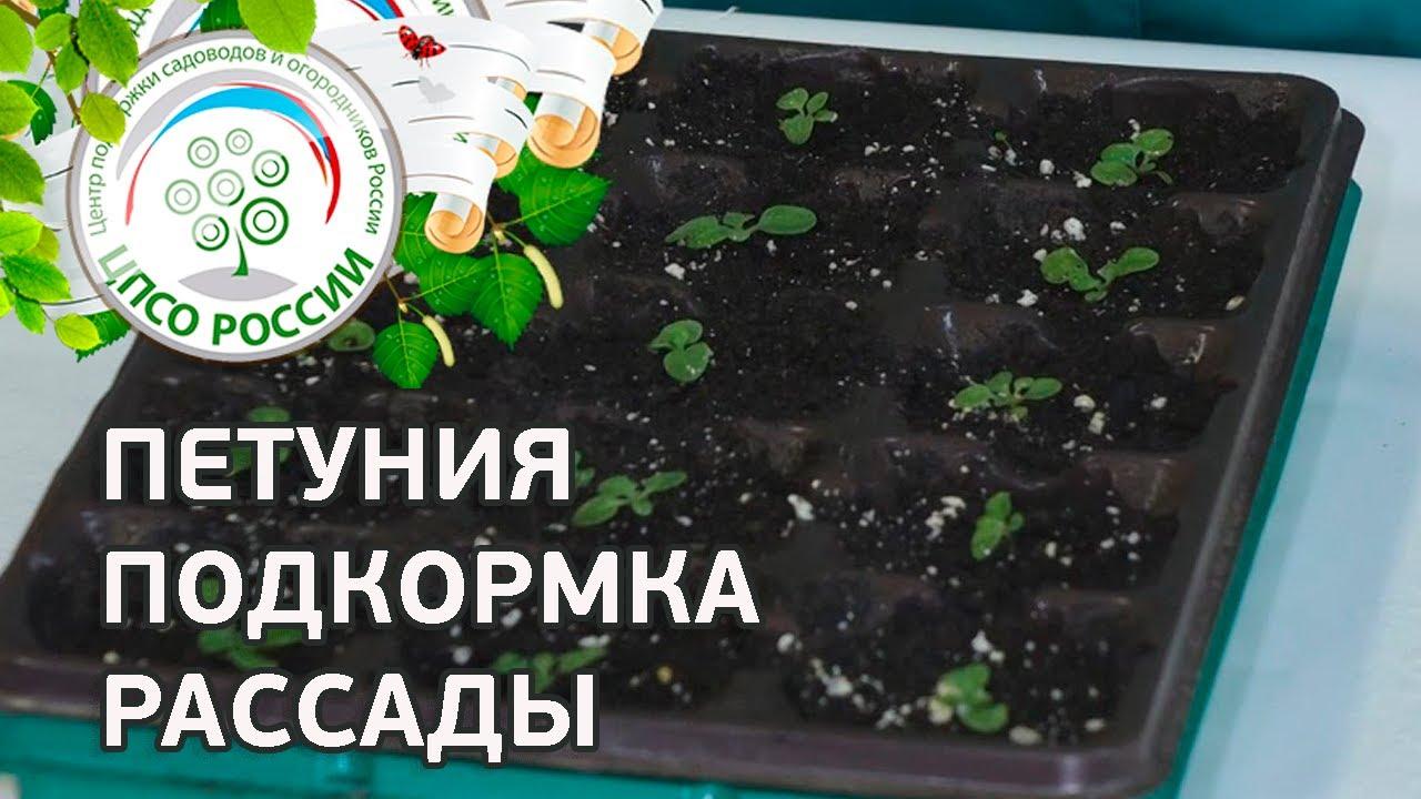 Выращивание петунии в теплице из семян 7426