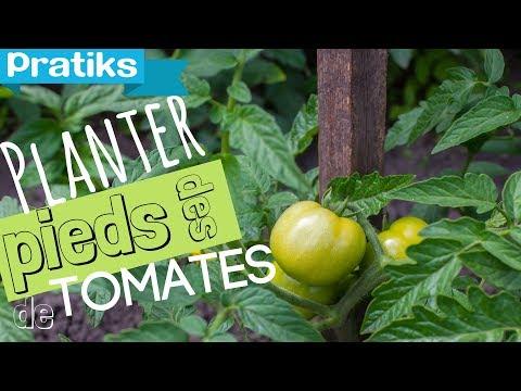 Comment planter ses pieds de tomates youtube - Distance entre pied de tomate ...