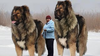 10 Razas De Perros Más Grandes Del Mundo