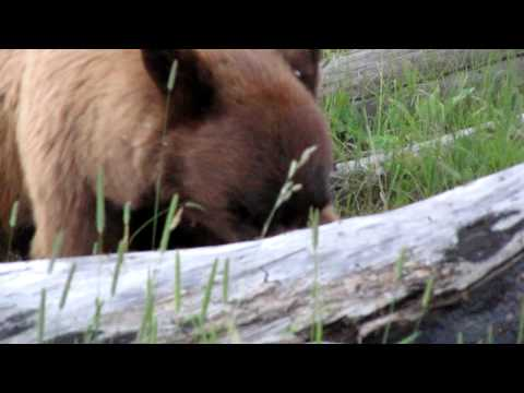 Gina & Gordon meet Mr. Bear in Yellowstone