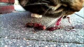 German 16 Pound Cat eat Mouse :))