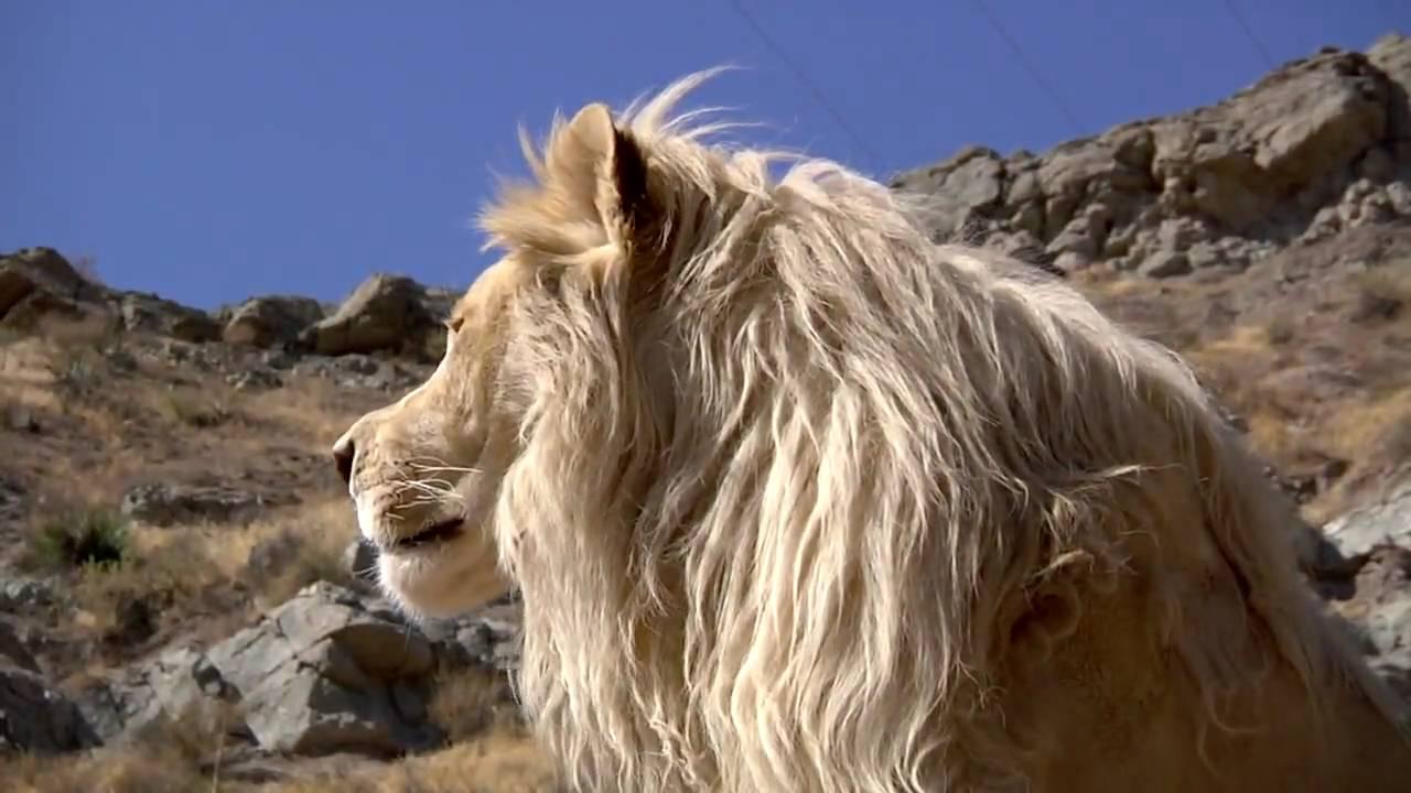 White Lion Hd Pictures  Yokwallpaperscom
