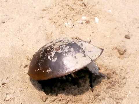 Horseshoe Crab Eggs Horseshoe Crab Nesting on