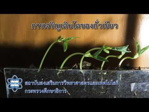 Bean Growth Epigeal germination