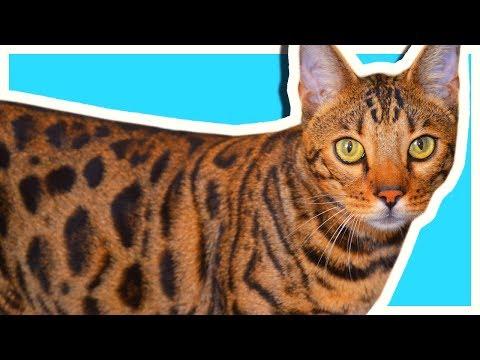 10 фактов о моём коте. У меня дома живёт леопард| AVEME LISSA